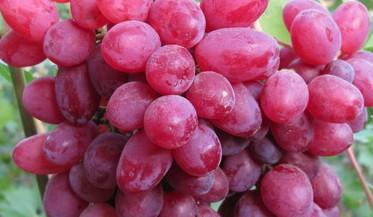 Виноград киш-миш красный оптом