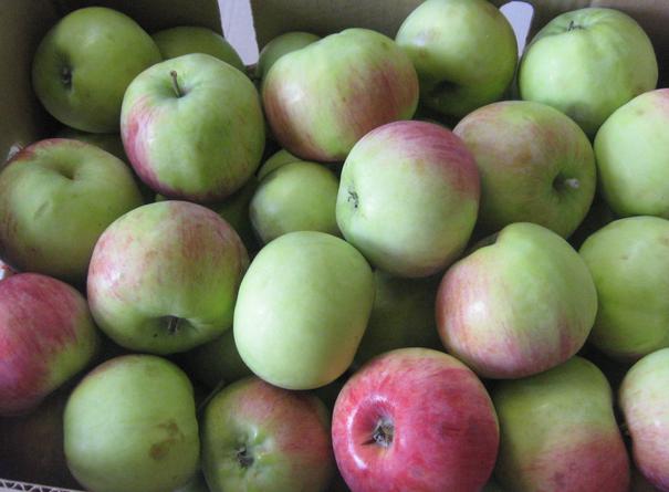 Яблоки Богатырь оптом